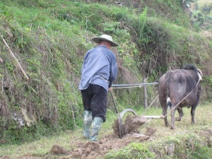 Farmer and his water buffalo