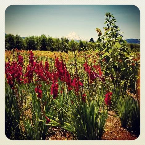 Oregon Gladiolas