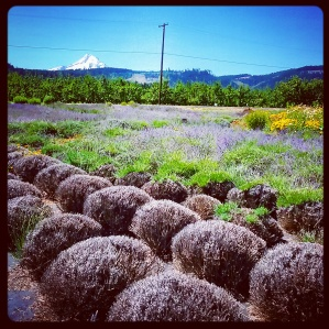 Lavender farm near Hood River, Oregon, with Mount Hood in the distance